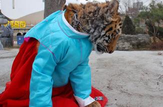 国:小老虎穿上朝鲜族服饰行大礼-幽默 图片频道