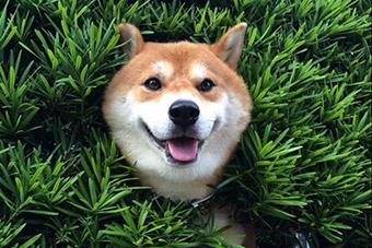 日小狗头卡树篱上 表情淡定惹人发笑图片