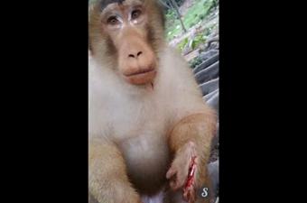猴子讨食遭扔炮仗鲜血淋漓 男子放声大笑图片