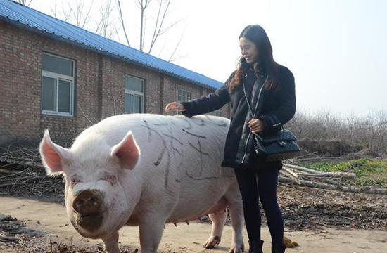 """郑州/郑州现1500斤""""猪王""""能当牛骑..."""