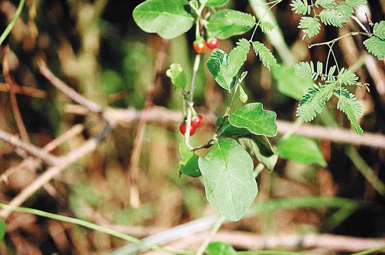 中國藥科大學科研人員發現 海南茄可抑制肝硬化
