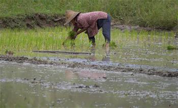 海南三亞:夏季插秧忙