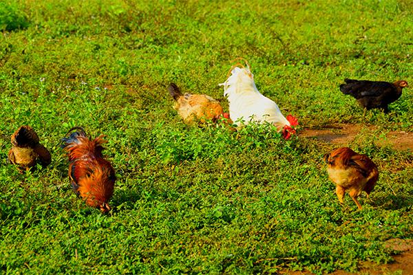 農民話農品之儋州小種雞