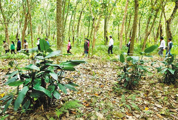 熱科院橡膠林下的南藥科技園開園