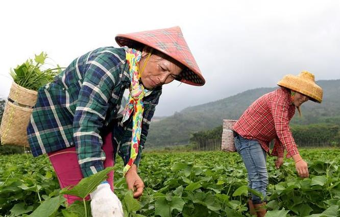 五指山:龍須菜助農脫貧致富