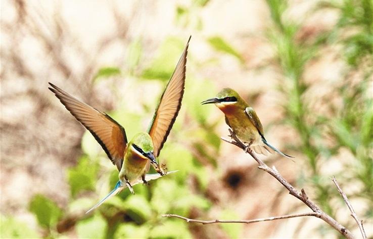 海口五源河国家湿地公园发现栗喉蜂虎