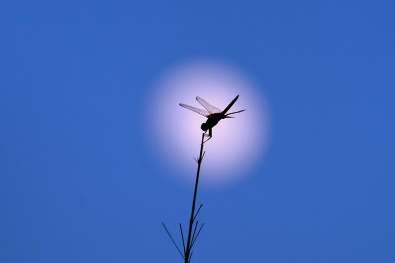 早有蜻蜓立上头