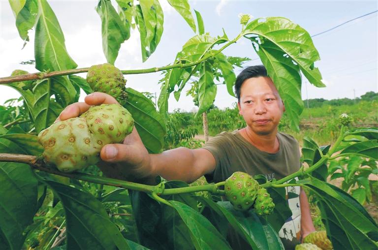 定安罗案村采取农庄+贫困户模式发展诺尼果产业