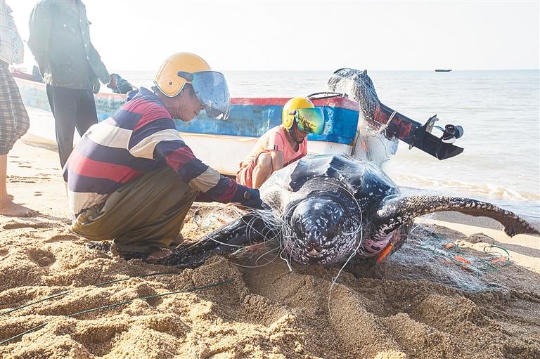 巨龜誤陷漁網 漁民合力放生