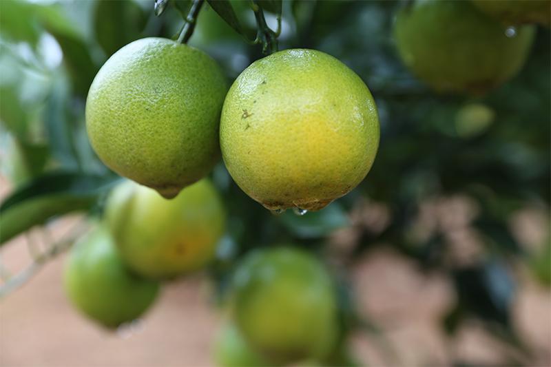直播回放:瓊中綠橙開摘啦!