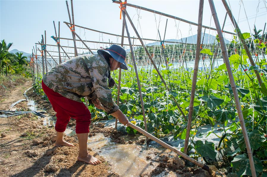 海南:冬季瓜菜管護忙