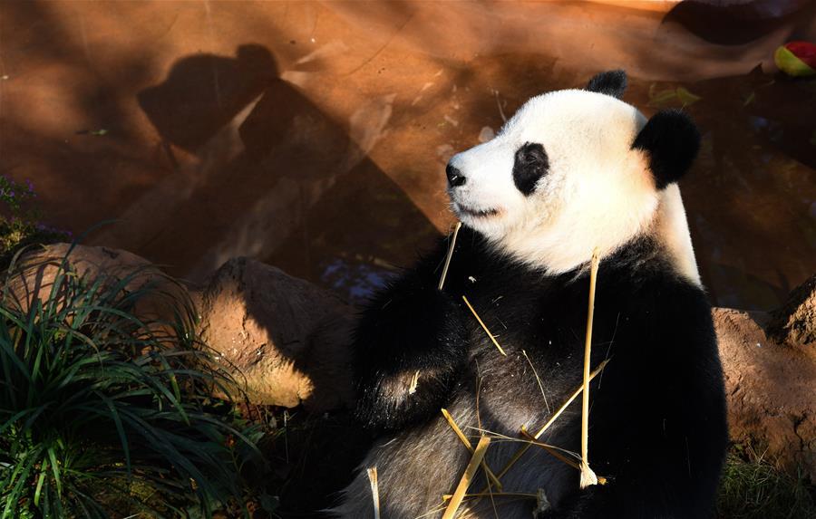 海口:大熊貓樂享暖冬