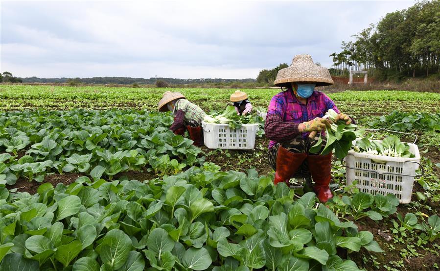 海口:採摘蔬菜 擴大供應量