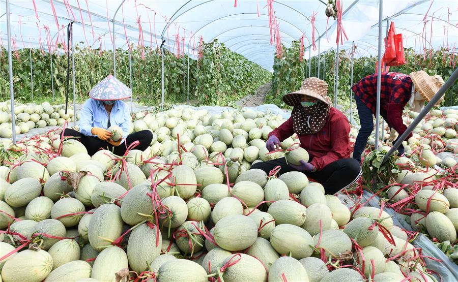 海南樂東:田間地頭收瓜忙