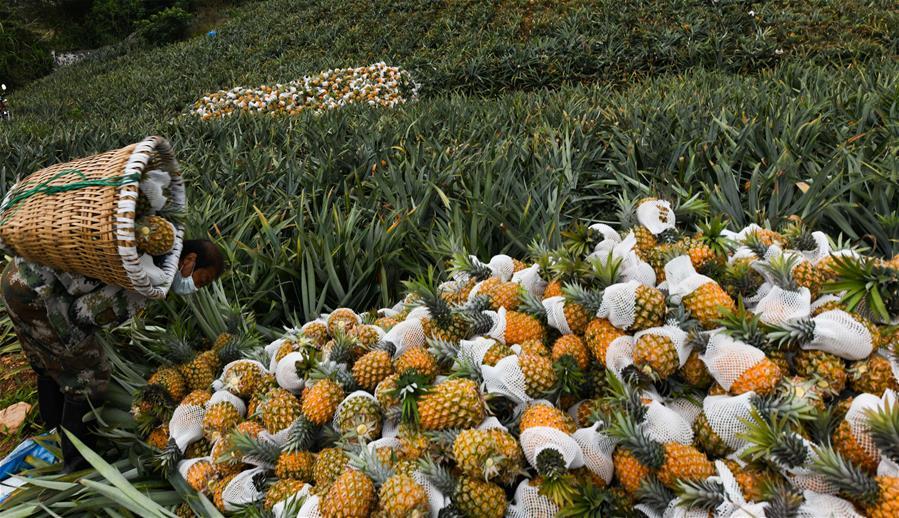 海南萬寧:菠蘿採收忙