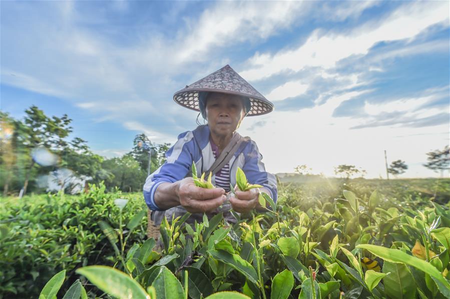 海南:黎鄉茶葉助脫貧