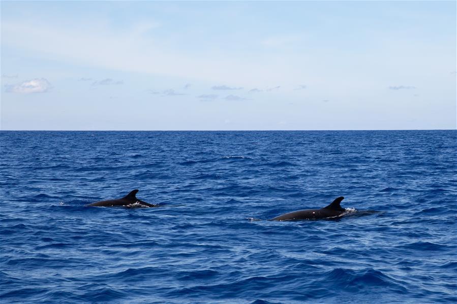 我國南海北部某海域首次發現偽虎鯨