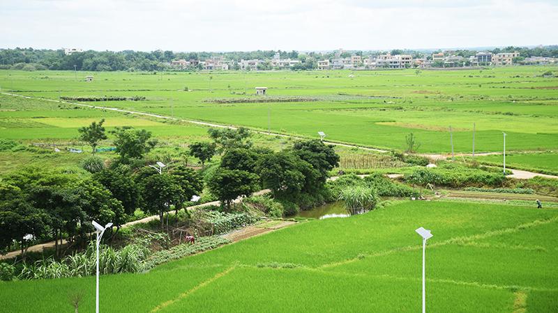 馬坡洋:鄉村振興擘畫萬畝田洋美麗風光