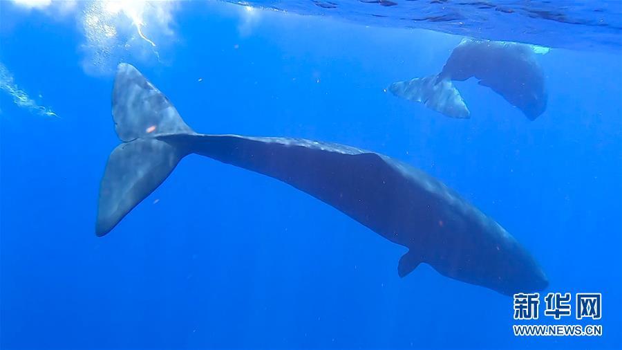 抹香鯨家族二度亮相 母子伴遊潛碧浪