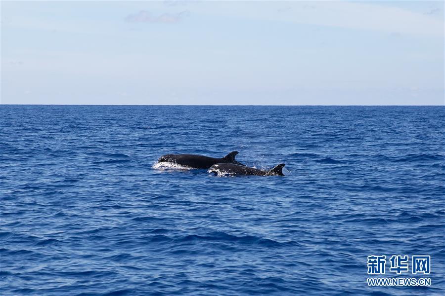 首次發現!偽虎鯨現身我國南海北部某海域