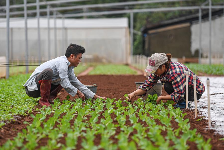 海口:蔬菜基地務農忙