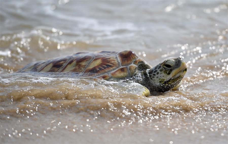 海南:放歸海龜