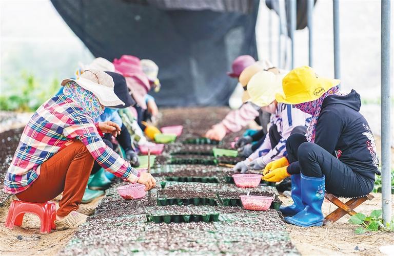 優質冬季瓜菜種苗助農增收