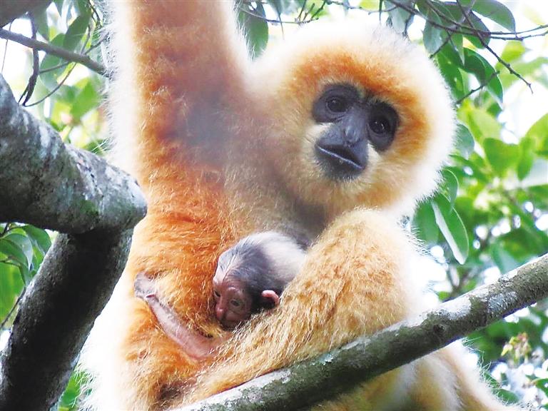 海南長臂猿E群幼猿生存狀況良好