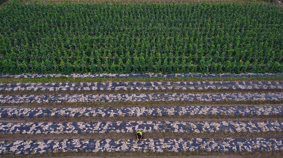 海南澄邁:冬季瓜菜種植忙