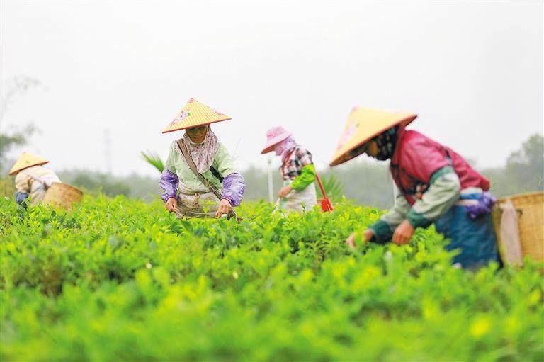 茶旅融合步新途