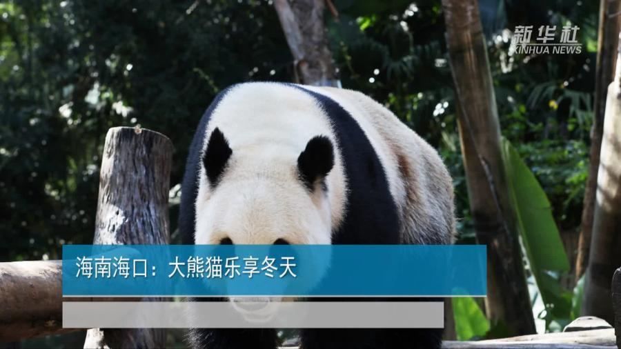 海南海口:大熊貓樂享冬天